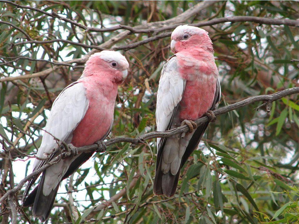galah-bird-