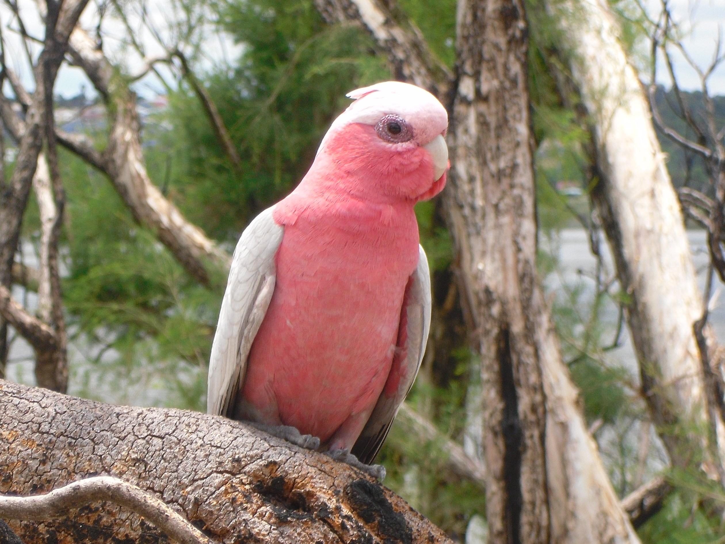 galah-birds