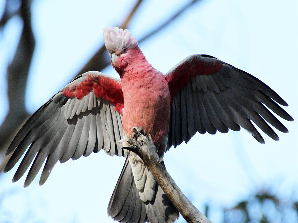galah_cockatoo_