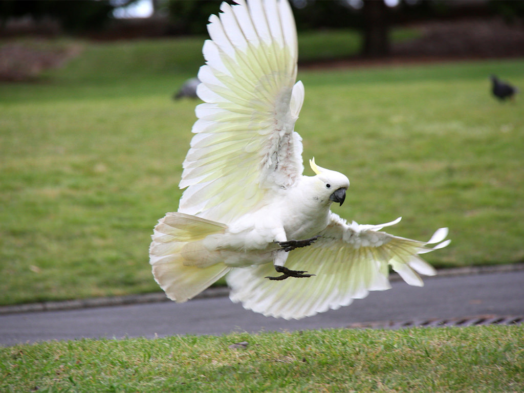 Sulphur-Crested Cockatoo-