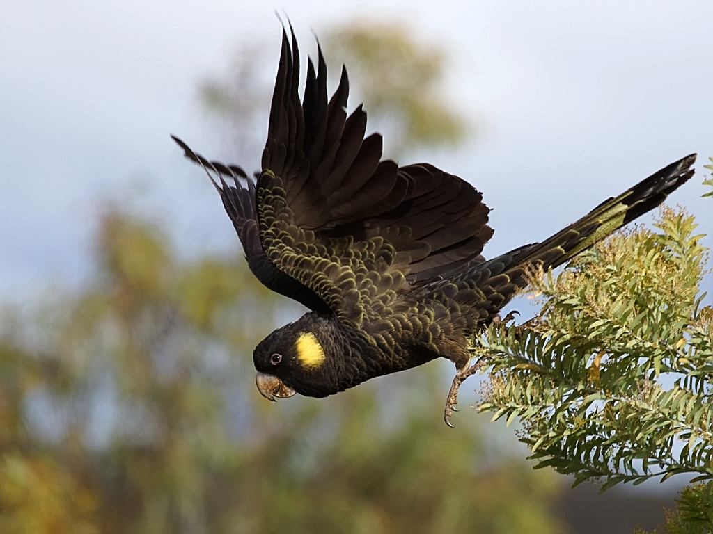 Yellow-tailed black cockatoo-
