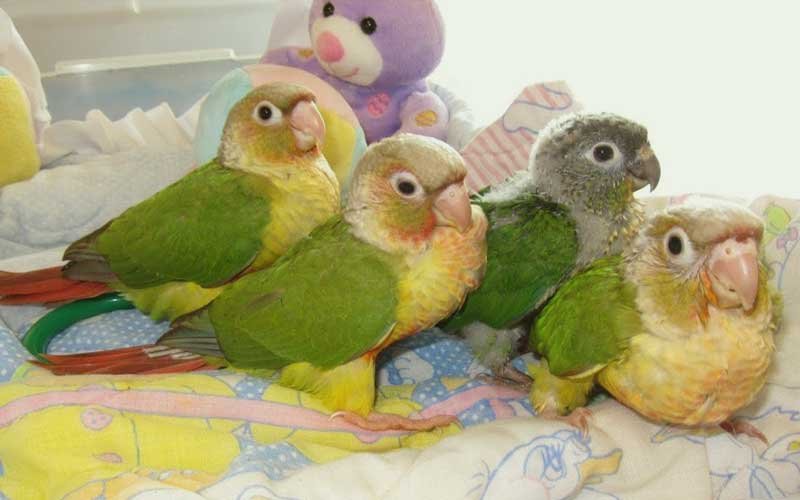 news-Green-cheeked-conures-site